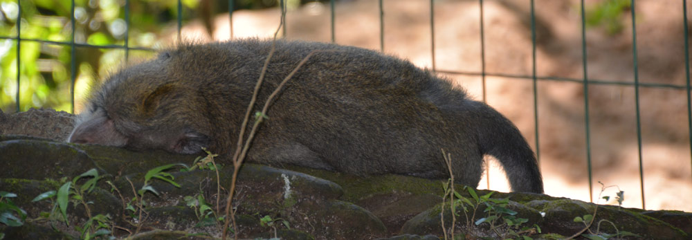 sleeping-monkey