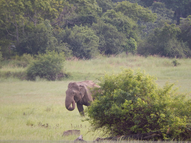 Wild elephants can be seen in Sri Lanka's national parks, and sometimes even along the roadside.