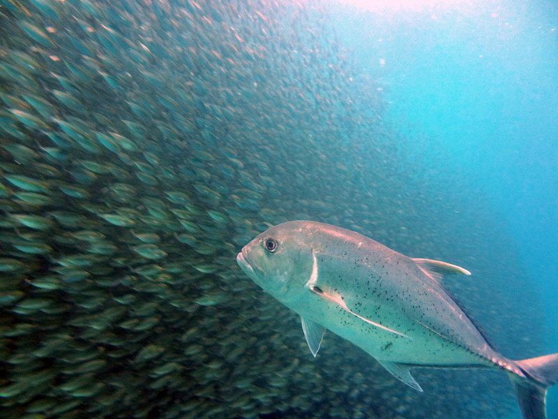 From Debbie: If this giant trevally had lips, he'd be licking them as he watched this school (crowd?) of fusiliers, patiently deciding which one would be his lunch. Raja Ampat, Indonesia.
