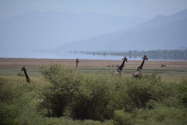 giraffes-lake-safari-629