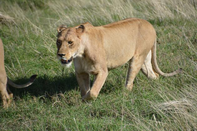 lion-close-629
