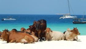 zanizbar-cows-featured