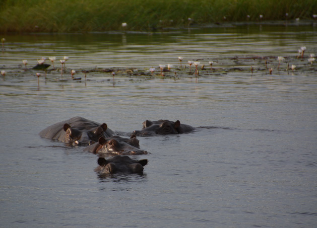 hippos-chobe