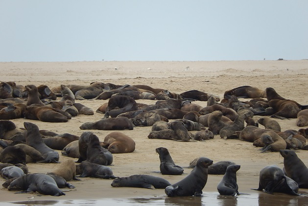 seals-on-pelican-point