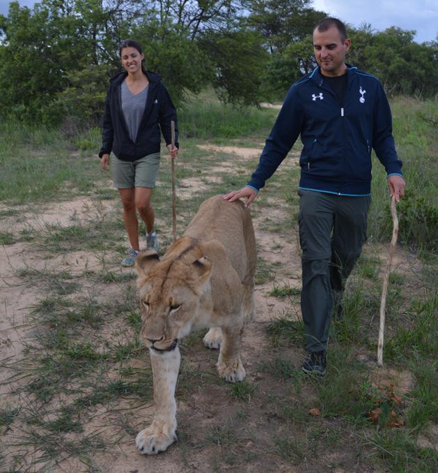 lion-walk