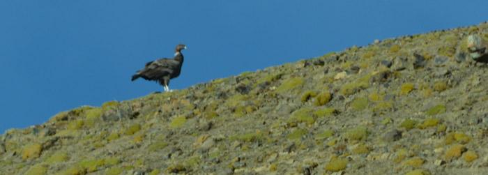 condor-top-hill