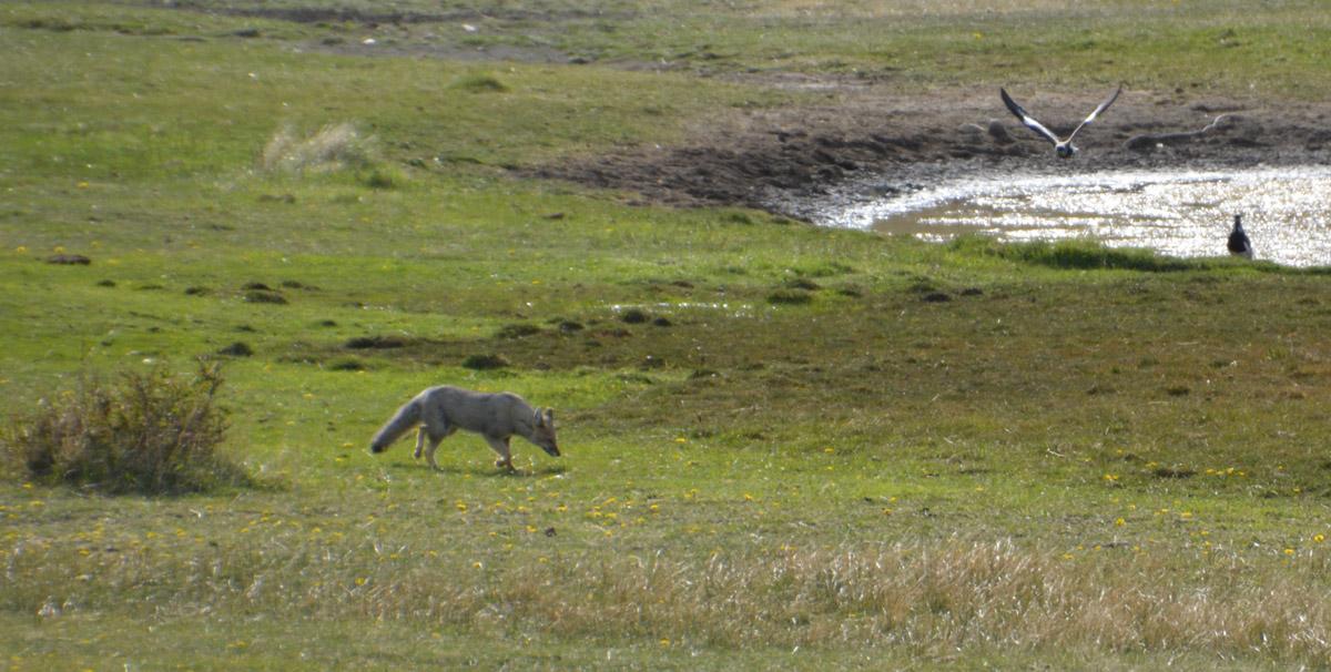 gray-fox-horsetrek