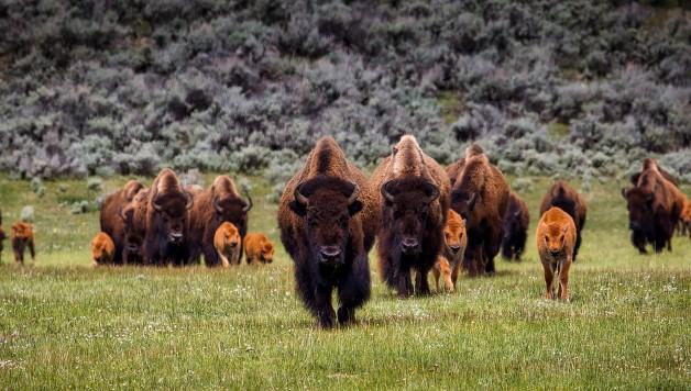bison-1581895_1920